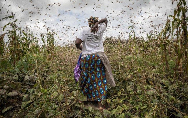 April 2020 Locusts (Sven Torfinn:Oxfam)